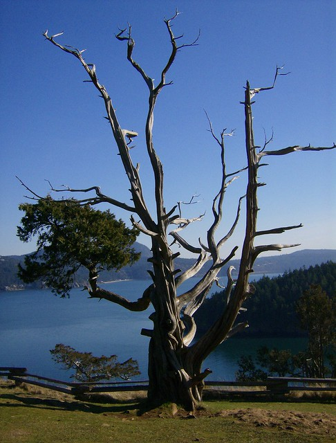 View Point's Old Tree