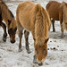 Assateague Horses on Beach