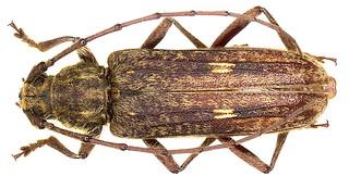 Zoodes liturifer (Walker, 1871)