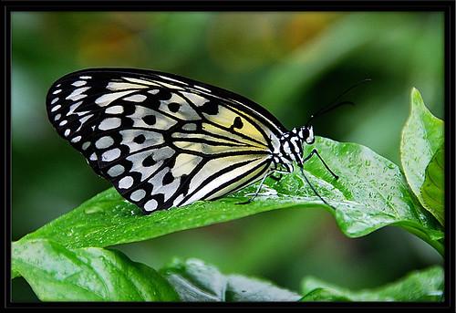 portrait blackandwhite white macro nature leaves rain butterfly amazing wings nikon flickeraward d80 photographyrocks