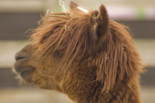 Camel with bad hair