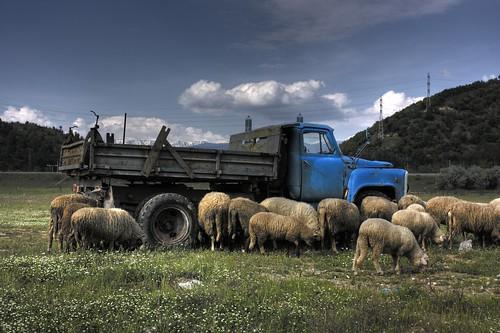 sheep bulgaria blagoevgrad българия благоевград