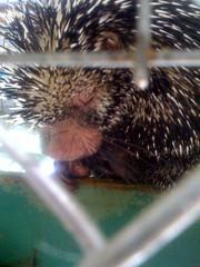 echidna, animal, hedgehog, porcupine, monotreme, erinaceidae, fauna,