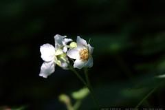 thimbleberry blossoms    MG 4276