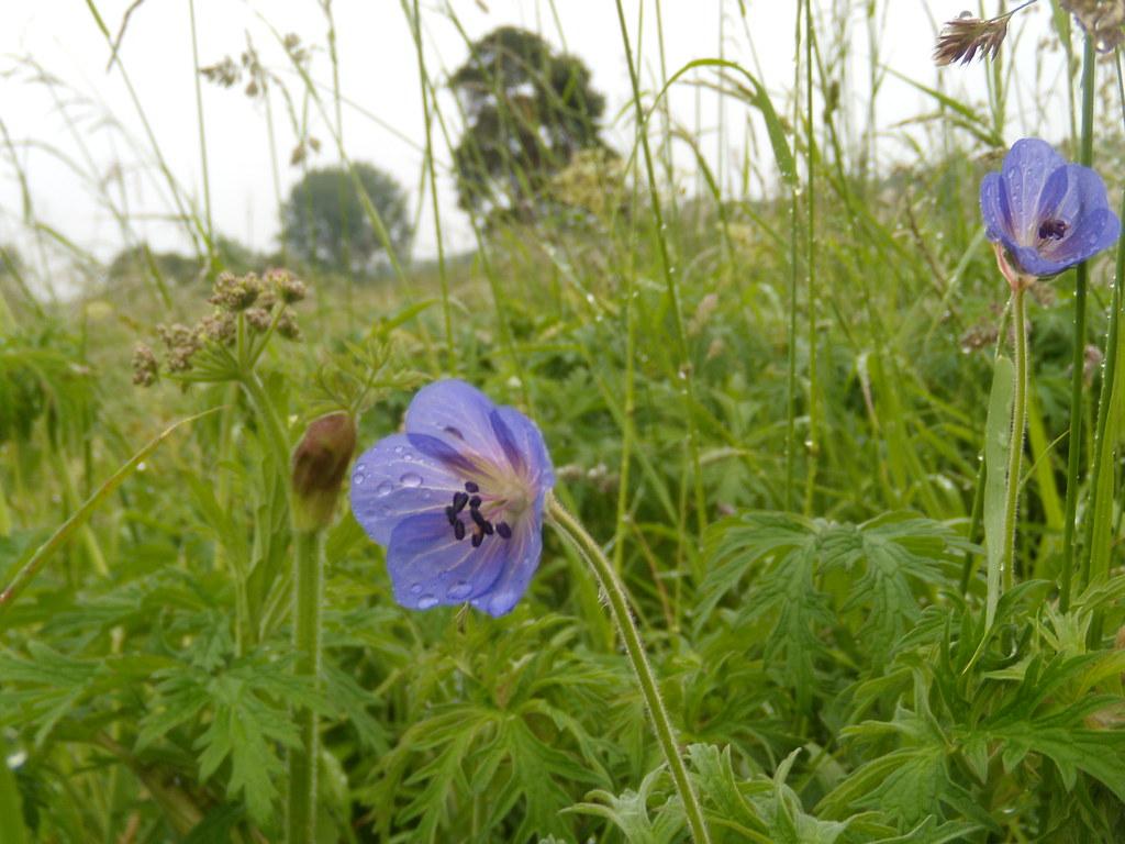 Meadow Cranesbill Appleford Circular