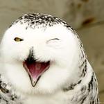 The laughter of the snowy owl