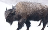 Bison Wallpaper for Widescreen