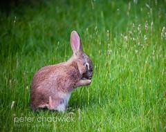 Rabbit_nap