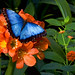 Common Morpho - Photo (c) Fotophilius, some rights reserved (CC BY-NC-SA)