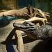 knox zoo croc