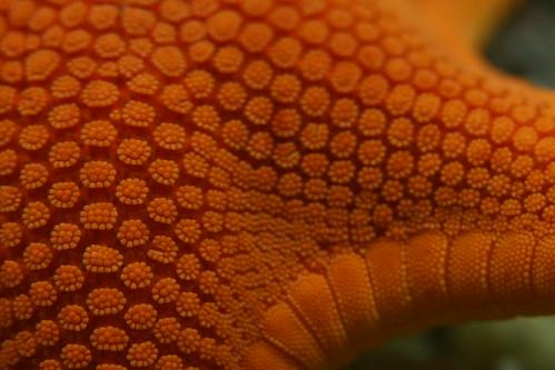 Starfish macro