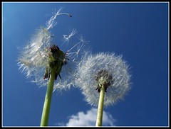 Wind + blowball = full spring