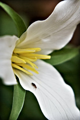 trillium iphone wallpaper