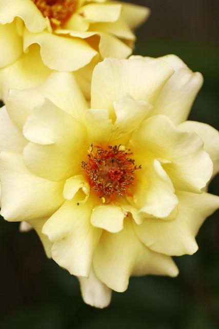 Photo:Rose-Romantic Julia By koizumi