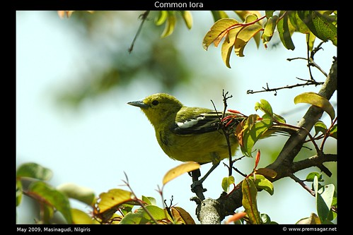 Common Iora 1