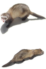 animal(1.0), weasel(1.0), mustelidae(1.0), mammal(1.0), fauna(1.0), marten(1.0), polecat(1.0), ferret(1.0),