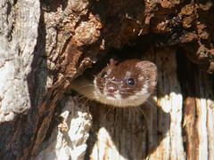 marten(0.0), animal(1.0), weasel(1.0), mustelidae(1.0), mammal(1.0), fauna(1.0), polecat(1.0), mink(1.0), wildlife(1.0),