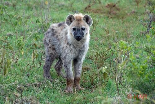 africa nature animal nikon kenya wildlife reserve safari elisabeth treetop queenelisabeth hyenas treetophotel aberdare d80