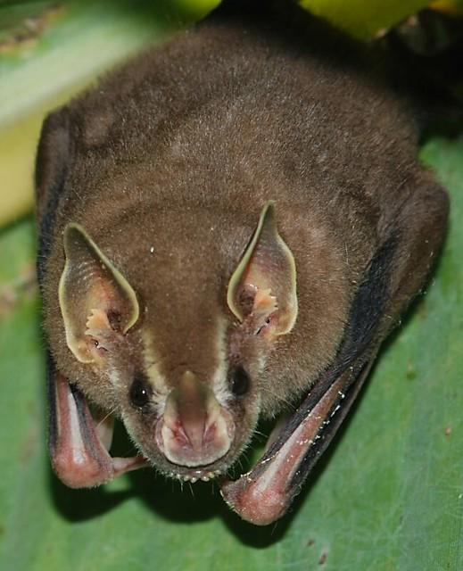 Jamaican Fruit-eating Bat (Artibeus jamaicensis)--Yucatan Mexico & Field Herp Forum u2022 View topic - Bats Bats Bats!