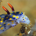 Nudibranch (Hypselodoris sp.)