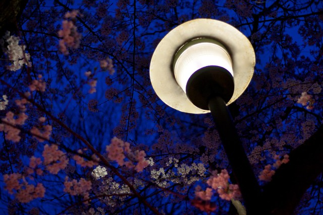 Lighting up the Blossoms