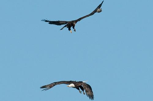 birds unitedstates kentucky wildlife baldeagle leveeroad