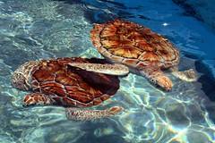 box turtle(0.0), emydidae(0.0), animal(1.0), turtle(1.0), reptile(1.0), loggerhead(1.0), organism(1.0), marine biology(1.0), fauna(1.0), sea turtle(1.0), tortoise(1.0),
