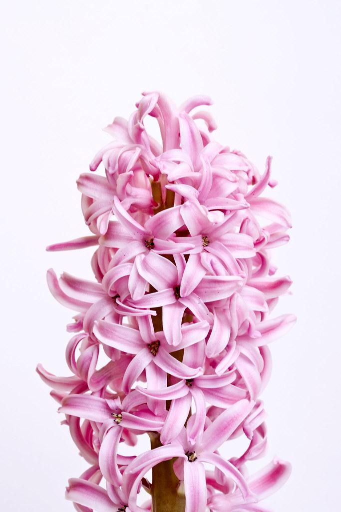 Lupine Flowers Stock Image