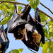 Spectacled Flying Fox - Photo (c) Charles Haynes, some rights reserved (CC BY-SA)