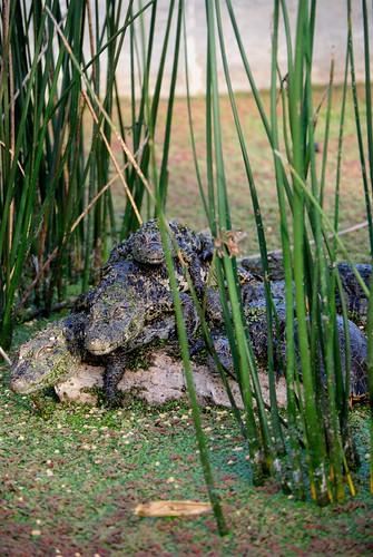 Caimanes y tortugas