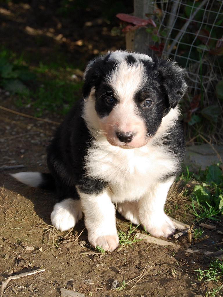 Cute Adorable Puppy Border Collie 6 weeks