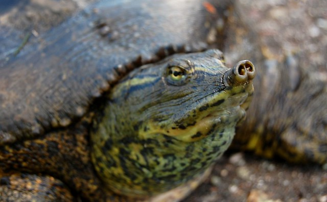 Rubber Back Snapping Turtle Flickr Photo Sharing