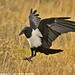Pied Crow about to land 0R7E0863