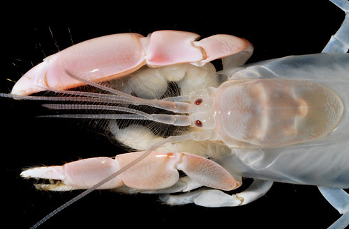 Ghost shrimp (Neocallichirus sp), Ceará, Brazil