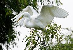 great egret, great spread