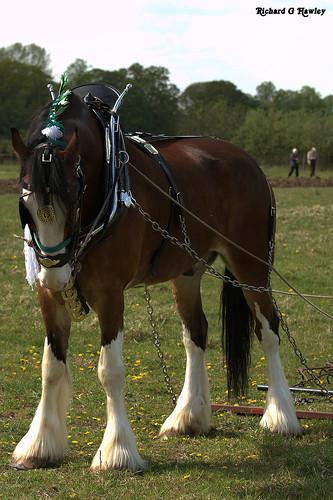 Heavy Horses - flckr - richardghawley