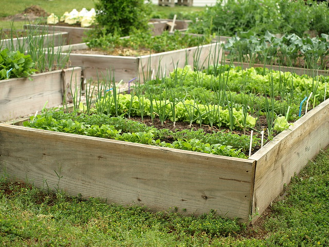 Organic gardening raised beds wood