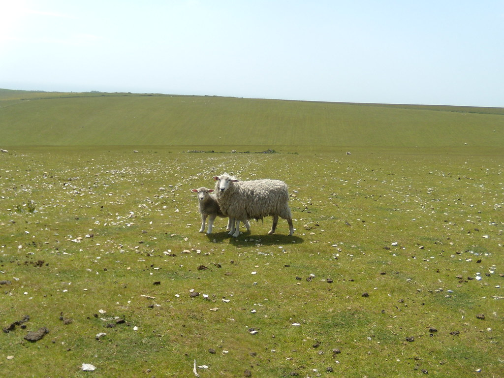 Obligatory sheep photo 1 Glynde to Seaford