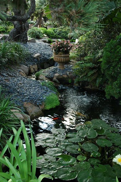 In the clear light, a Koi pond, lily pads, stones, flower ...