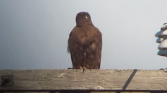 """Western"" Red-tailed Hawk (Buteo jamaicensis calurus)"