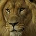 Lion by TBR62