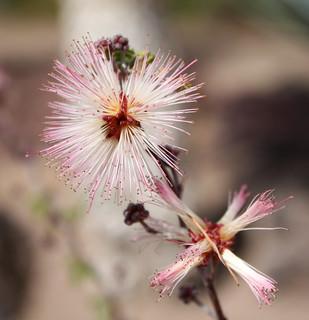 Bilde av Ethel M Chocolate Factory & Gardens. las pink vegas cactus mars usa white flower macro factory chocolate nevada chocolates m ethel