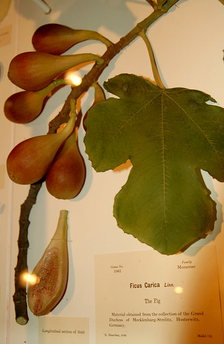 Glass Flowers: Ficus Carica (Fig Tree!)