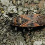 platánbodobács - Arocatus longiceps