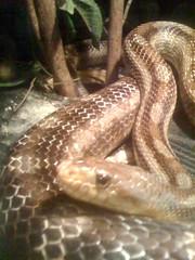 House-snake
