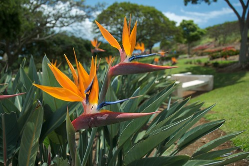 Birds of Paradise at Punchbowl