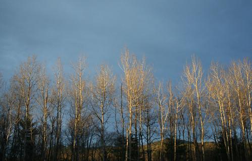 trees wallpaper sunlight yard backyard afternoon birch colleens