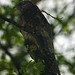 Bienparado Norteño - Photo (c) David Cook Wildlife Photography, algunos derechos reservados (CC BY-NC)