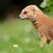 Mongoose and grass