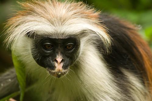 tanzania monkey colobus jozani tza specanimal